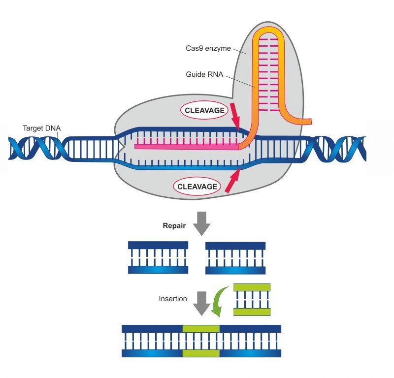 crispr-cas9-edición-genética-Por-Soleil-Nordic-shutterstock_793995664-e1539656339768 (1).jpg