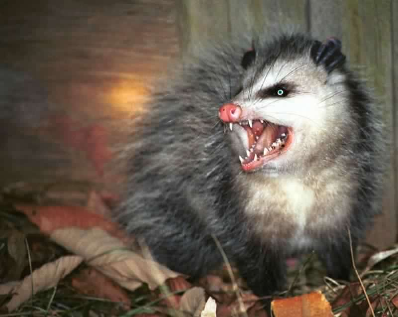 possum2-800x0-c-default.jpg