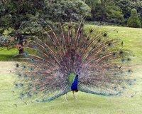 Peacock.displaying.better.800pix.jpg